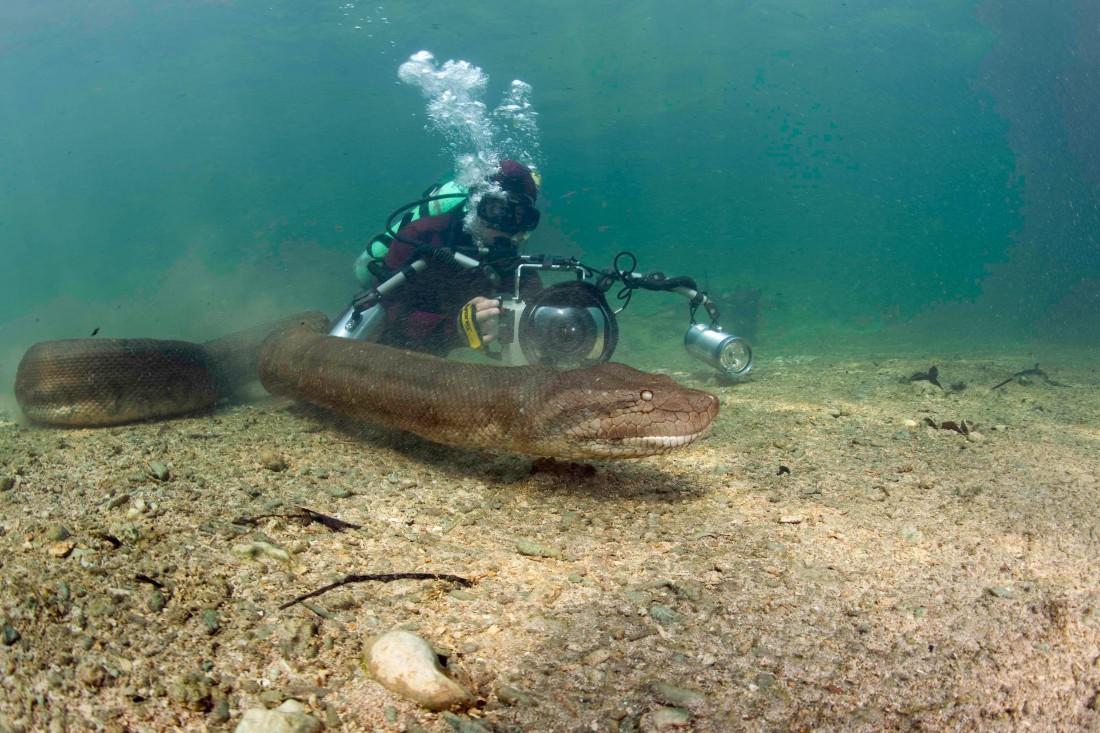 Вода — привычная сфера обитания анаконд