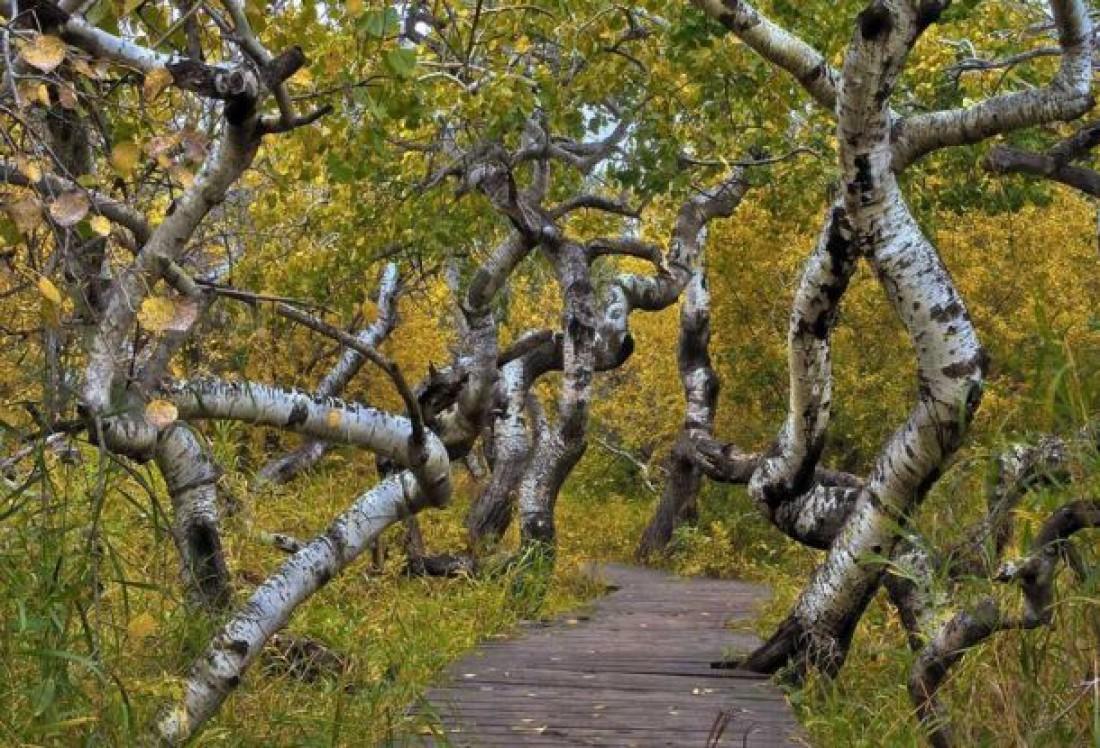 Кривые деревья, Канада