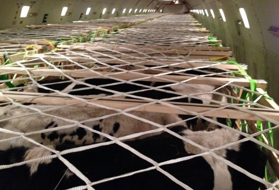 Коровы на борту Boeing 747