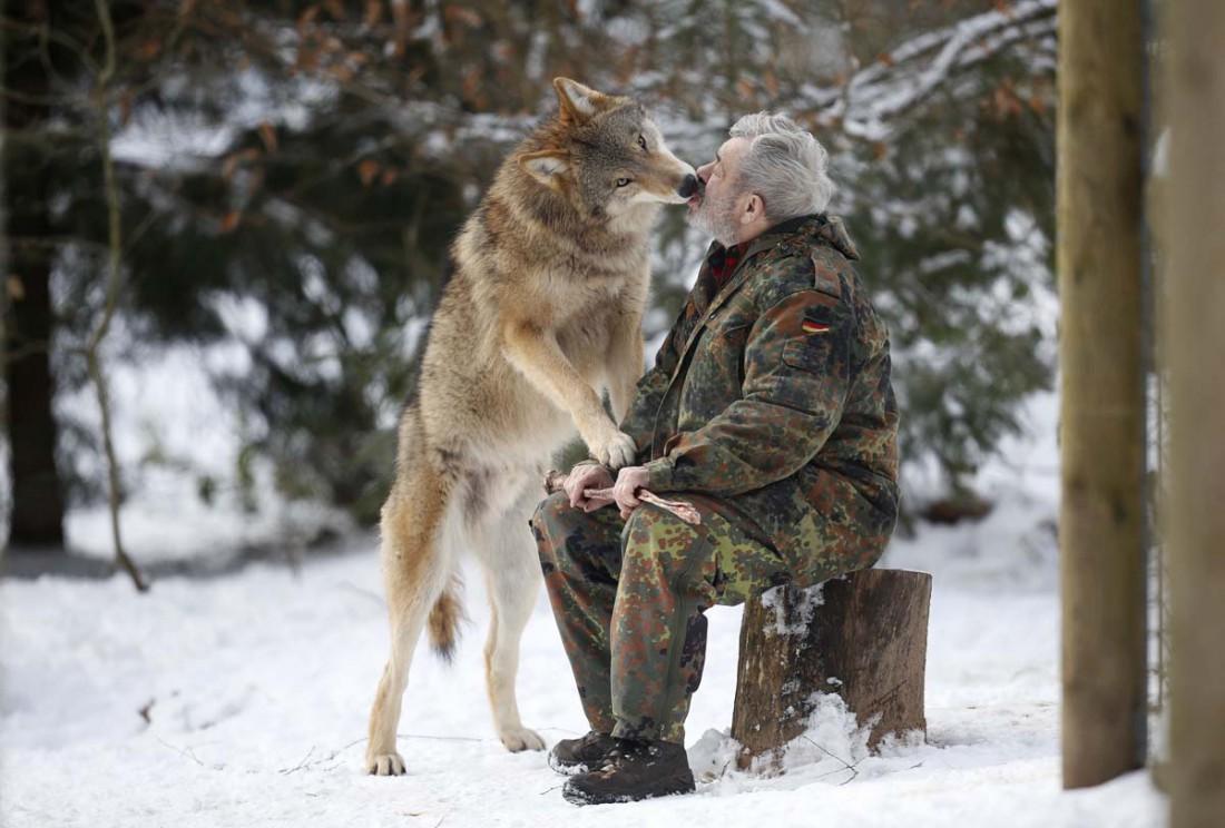 Первым волк редко нападает