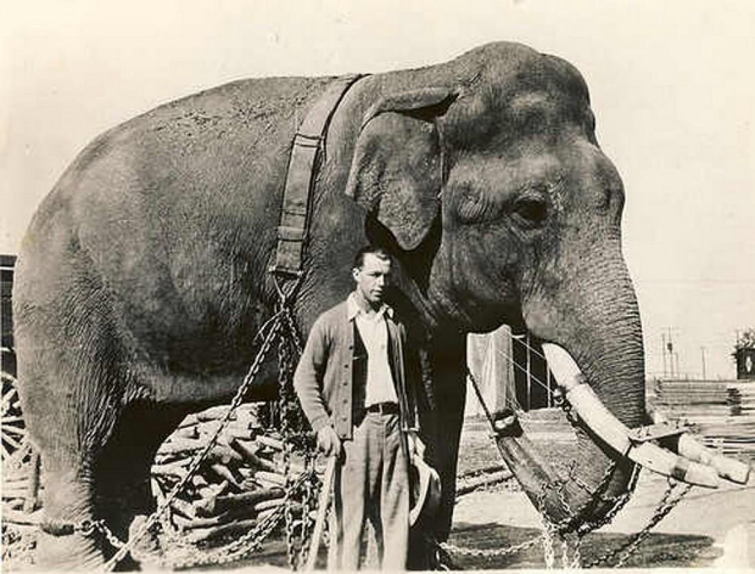Покойный слон Таско, не перенесший дозу ЛСД