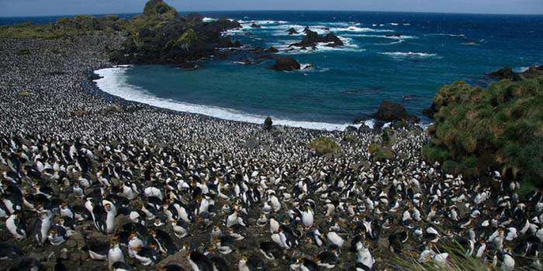Маккуори — рай для любителей пингвинов