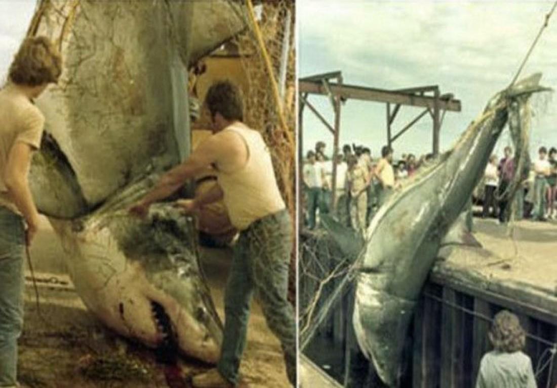 Якобы одна из самых крупных акул Канады