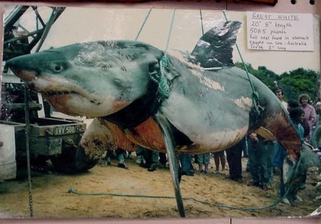 2306-килограммовая акула с тюленем в желудке