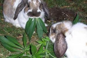 Кормить кроликов коноплей экономически невыгодно