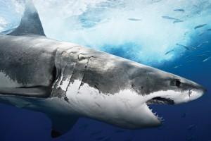 Жабры, глаза и нос - самые уязвимые места акул