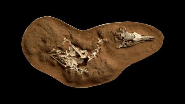 Фотография окаменелого скелета Шувуйя пустынного
