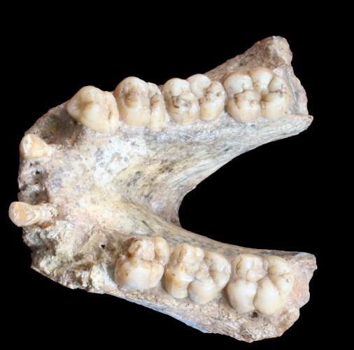 Нижняя челюсть гиганта