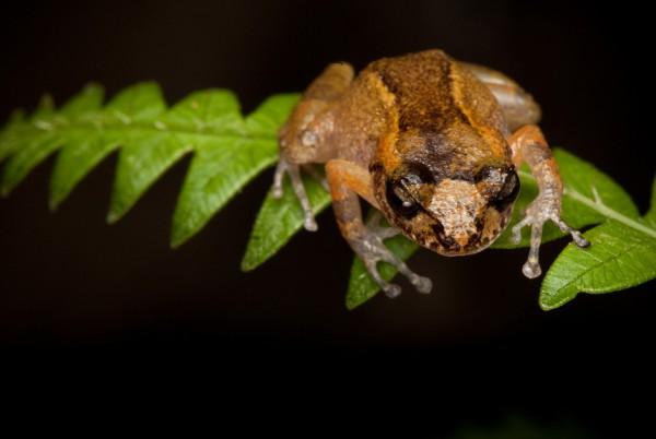 Eleutherodactylus dolomedes. Еще один вымирающий вид из Гаити (гора Макайя). В последний раз его видели в 1991 году — пока лягушек не обнаружили участники экспедиции 2010 года.