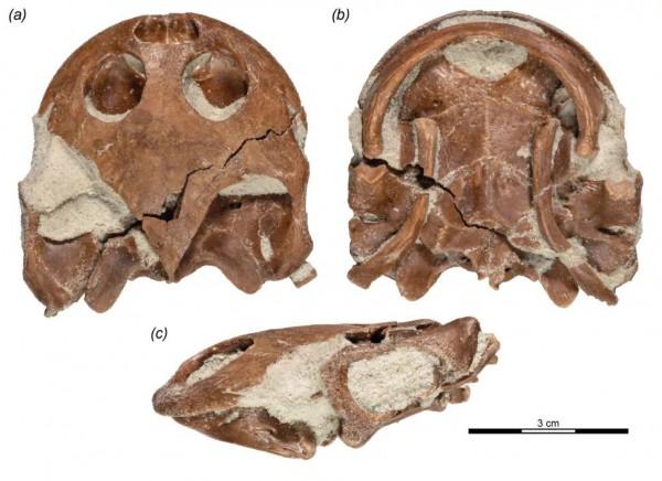 Окаменелость Sahonachelys mailakavava с сохранившимися частями черепа.