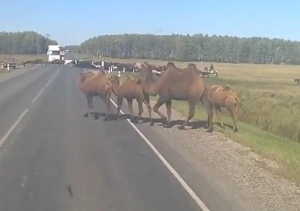 Верблюды в Сибири
