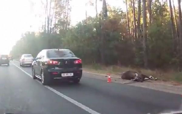 В ДТП под Киевом погиб лось