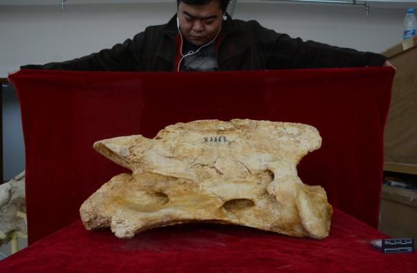 Череп гигантского носорога P. linxiaense по сравнению с ученым