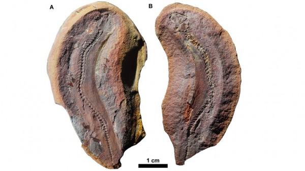 Фотографии окаменелости. А - образец, показывающий вид сверху; В - аналогичный образец, показывающий вид снизу