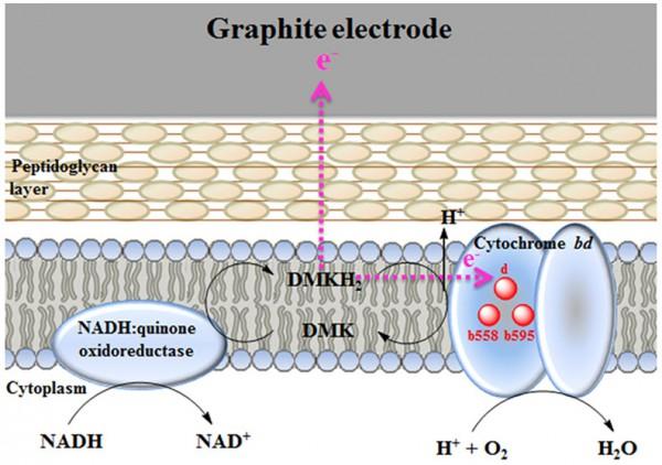 Процесс внеклеточного переноса электронов