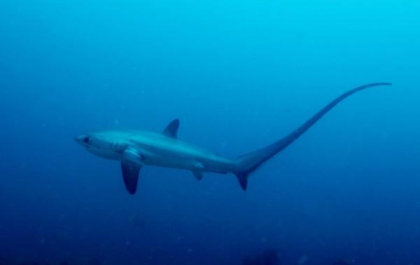 Архивное фото. Пелагическая лисья акула (Alopias pelagicus)