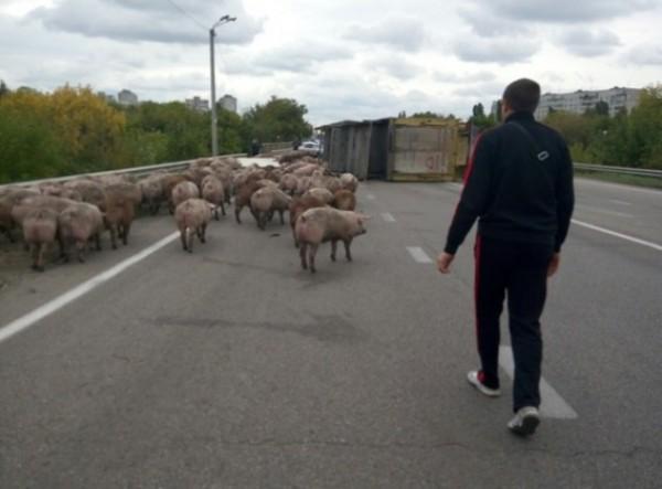 Свиней сгоняют к месту ДТП