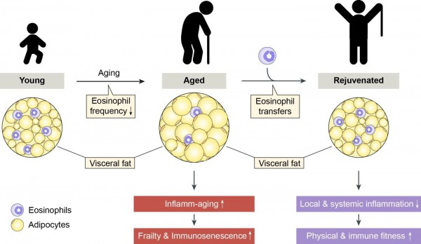 Перенос клеток эозинофилов от молодых и здоровых может принести пользу пожилым