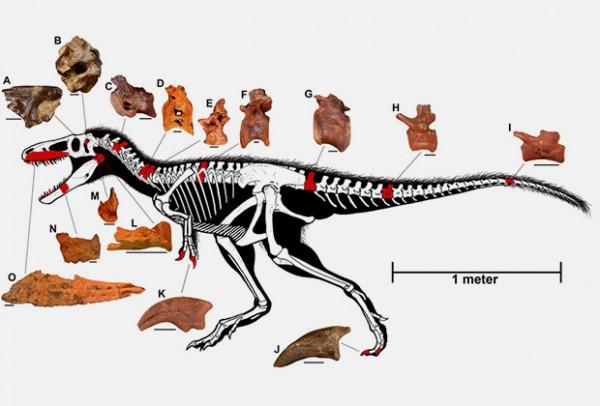 Ископаемые останки динозавра