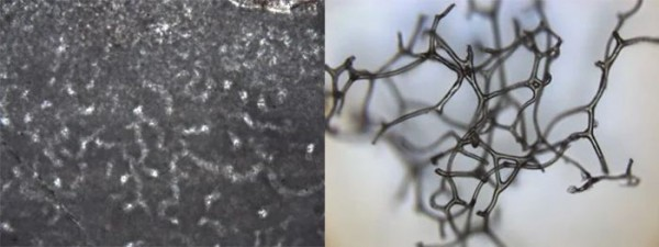 Вверху: образец окаменелости (слева) по сравнению с образцом современного скелета губки (справа)
