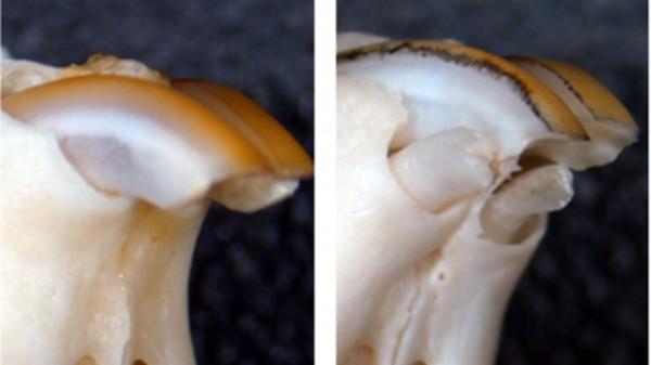 У мыши отрасли новые зубы