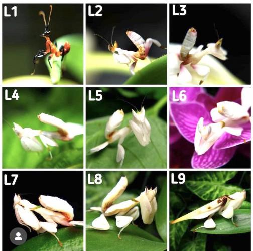 Стадии развития орхидейного богомола