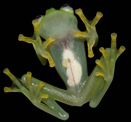 Кожа у лягушки практически прозрачная