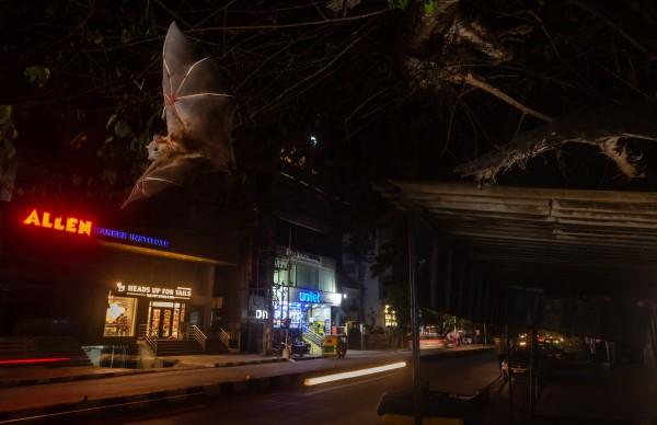 Темный рыцарь - Большая коротконосая летучая мышь выпадает из сингапурской вишни на дорожке оживленной улицы в столице штата Карнатака
