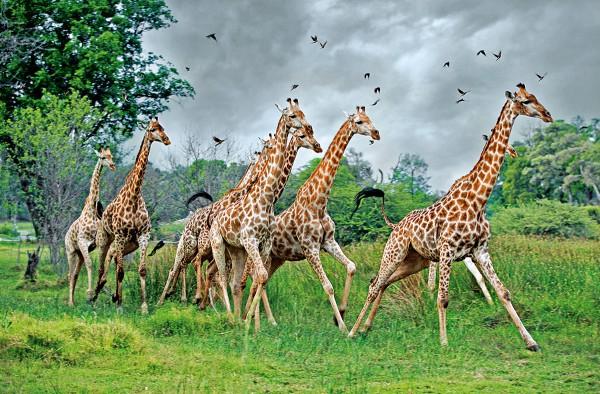 Жирафы получили шею в два этапа эволюции