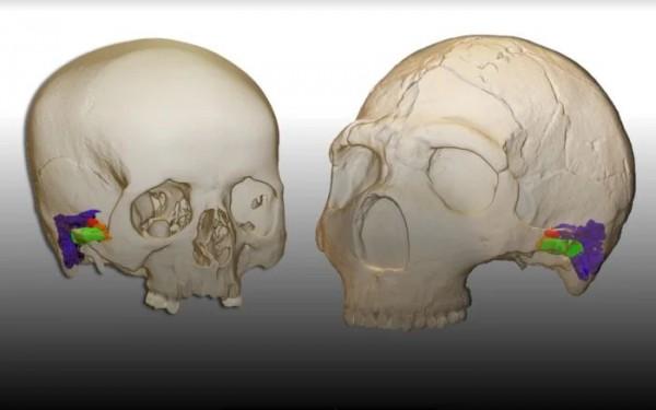 3D-модель современной анатомии уха человека (слева) и неандертальца (справа)