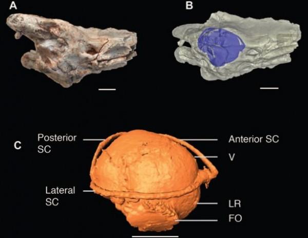 В черепе древней змеи обнаружили внутреннее ухо