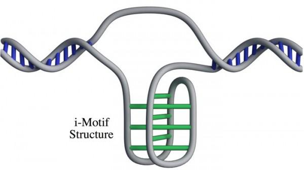 i-мотив в ДНК