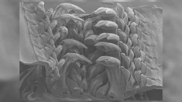 Изображение переднего конца радулы со зрелыми зубами на растровом электронном микроскопе