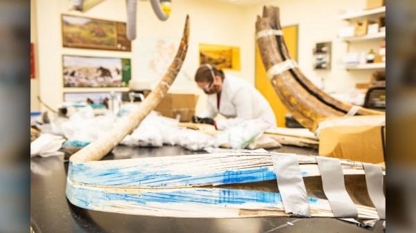 Вид на расколотый бивень мамонта в Центре стабильных изотопов Аляски в Университете Аляски в Фэрбенксе