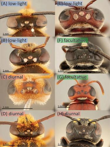 Вверху: при слабом освещении, факультативные (могут кормиться как при слабом, так и при обычном освещении) пчелы и дневные (дневное кормление) пчелы, демонстрирующие разные размеры глазков. A и B - это  Reepenia bituberculata, а E -  Meroglossa gemmata.