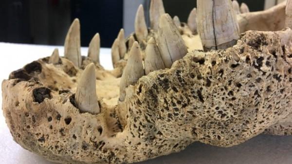 В ходе исследования был проанализирован череп вымершего крокодила на предмет наличия ДНК