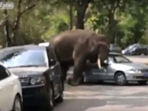Слон напал на автомобилистов