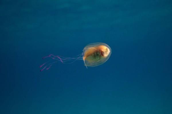 Рыба в медузе