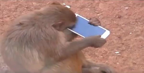 Обезьяна подобрала телефон и пыталась его надкусить