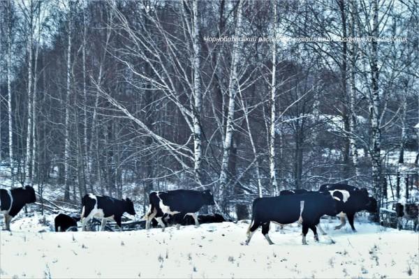 Одичавшие коровы сбились в стадо