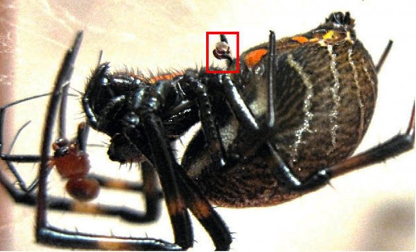 Самка Nephilengys malabarensis с оторванным органом самца
