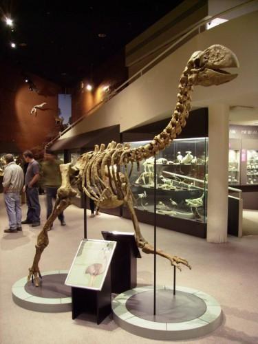 Реконструированный скелет Dromornis planei , выставленный в Музее Северной территории, Алис-Спрингс, Австралия