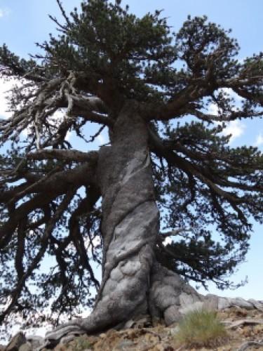 Дерево назвали Адонисом