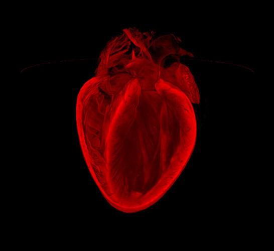 Разбитое сердце. Трехмерная структура сердца взрослой мыши. Данный метод построения изображений разрабатывается специально для оценки повреждений сердца после инфаркта.