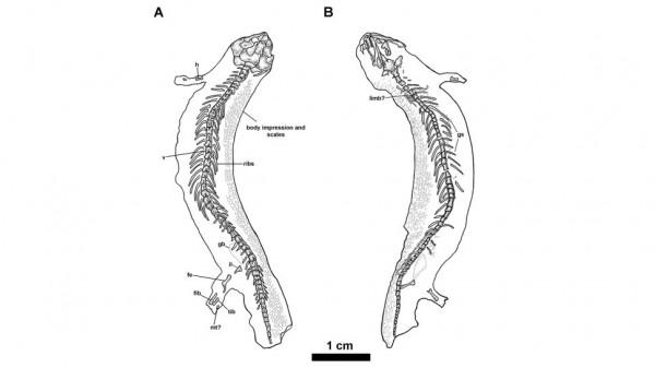 Иллюстрация окаменелости J. bolti
