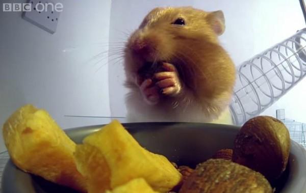 Перед хомяком поставили миску, в которую положили цукаты и миндальные орешки