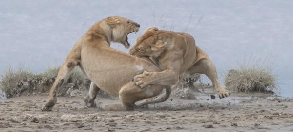 Золото - поведение, млекопитающие. «Бой львов». Серенгети, Танзания