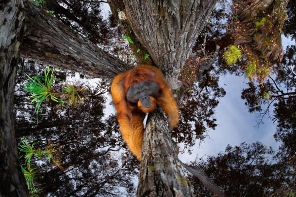 Обладатель Гран-при в категории «Животные в среде обитания». «Мир перевернулся». Борнейский орангутанг (Pongo pygmaeus), Национальный парк Танджунг Путинг, Борнео