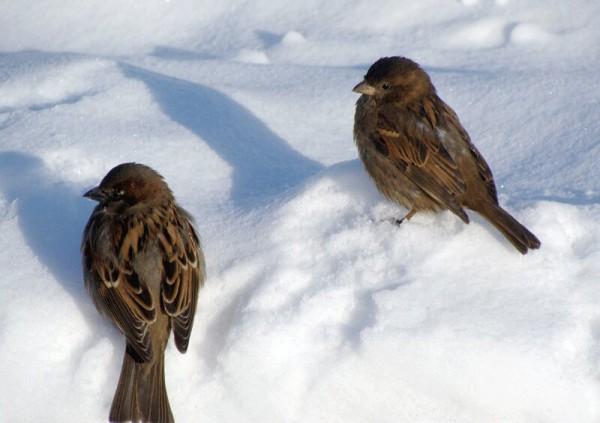 По поведению воробьев можно судить о погоде