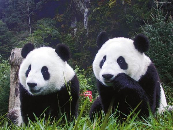 Язык больших панд удалось частично расшифровать
